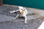 4-inicio-Perro-dalmata-Inverness