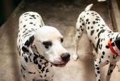 5-inicio-Perros-dalmatas-Inverness